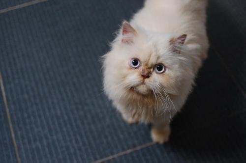 喜马拉雅猫的养护知识